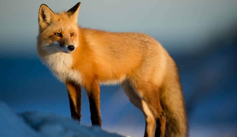 Ein Fuchs gehört in die Natur, nicht um einen Hals. Foto: Ray Hennessy / Unsplash
