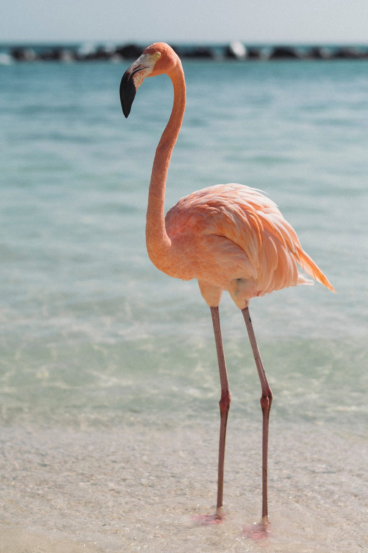 Flamingos gehören zum Strandbild auf Aruba, Foto: Raoul Croes / Unsplash