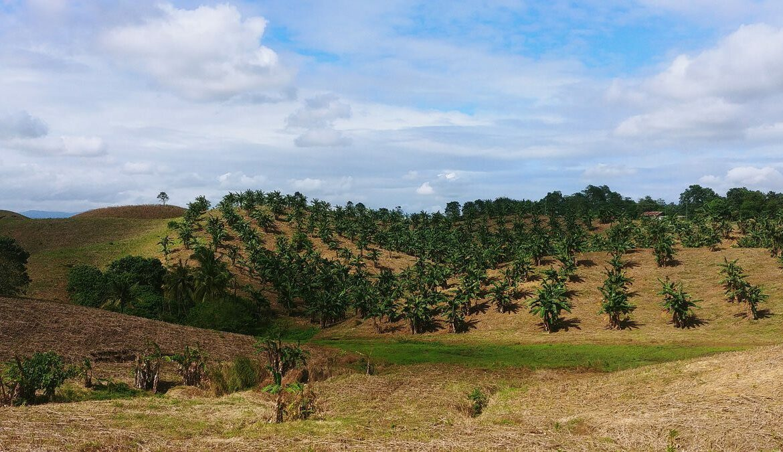 Bananenfeld auf den Phlippinen zur Gewinnung von Abaca-Fasern, Foto: fabersam / Pixabay
